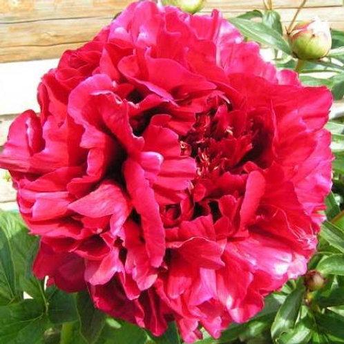 Пион травянистый Ред Сара Бернар  (горшок 5л)