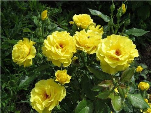 Роза флорибунда Фрезия (горшок 5л)