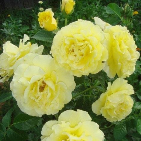 Роза шраб Лихткёнигин Люция (горшок 5л)