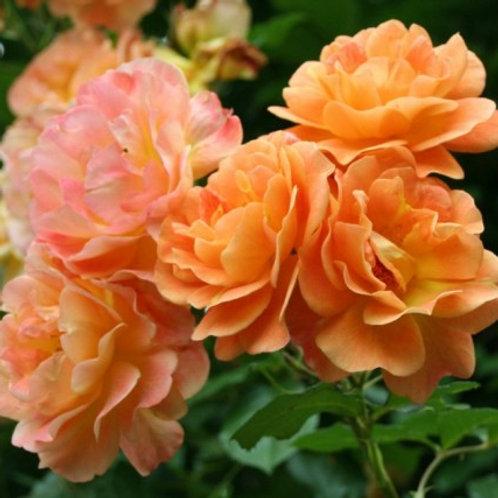 Роза шраб (кустарниковая) Вестерленд  (горшок 5л)