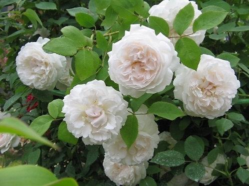 Английская роза (кустарниковая) Винчестер Кафедрал (горшок 5л)