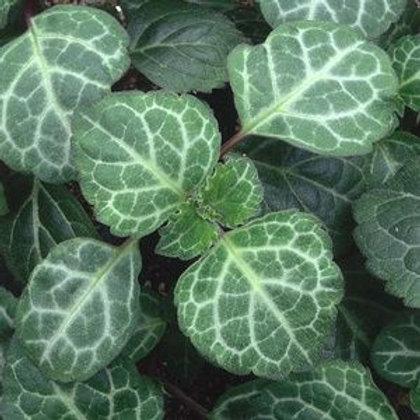 Плектрантус зеленолистный Эртендаля (горшок 0.4 л)