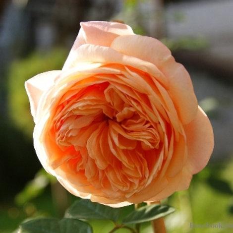Английская роза (кустарниковая) Чарльз Остин  (горшок 5л)