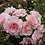 Thumbnail: Роза шраб (кустарниковая) Розарио  (горшок 5л)