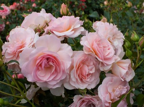 Роза шраб (кустарниковая) Розарио  (горшок 5л)