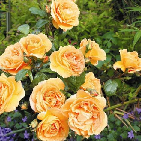 Роза флорибунда Берштайн Розе (горшок 5л)