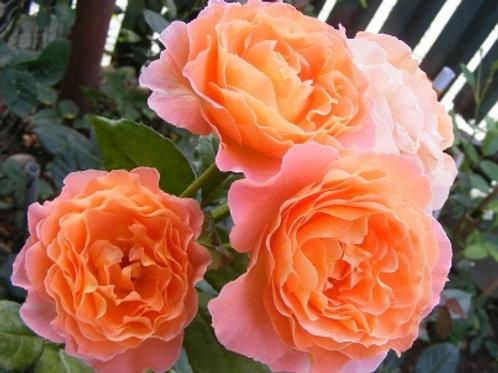 Роза флорибунда Розмари Харкнесс (горшок 5л)