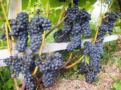 Виноград Адель (Саженцы 3-х летки; горшок 3л)