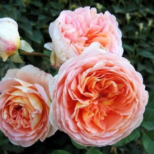 Английская роза шраб (кустарниковая) Абрахам Дерби