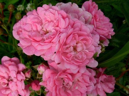 Роза почвопокровная Ашамед Фейри (горшок 5л)