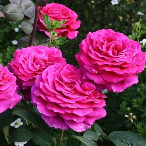 Роза чайно-гибридная Биг Пёпл (горшок 5л)