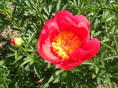 Пион травянистый Флейм  (горшок 5л)