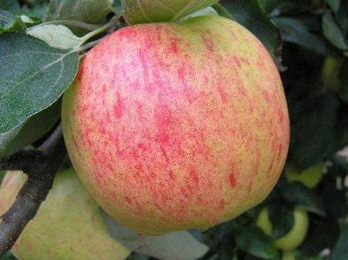 Яблоня Яблочный Спас (горшок 5л)