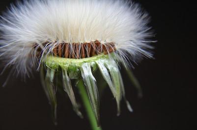 Seed dandilion.jpg