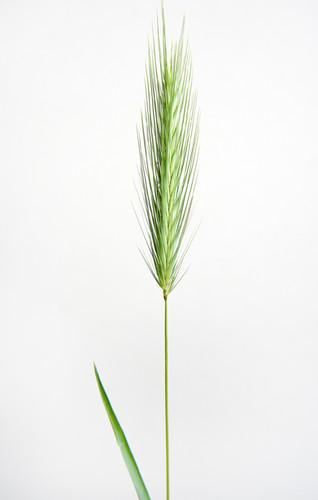 Wheat sheaf b.jpg
