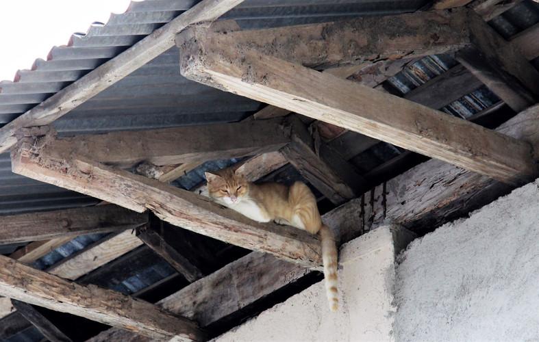 #022 katt på takbjälke, nicaragua