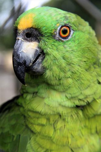 #025 grön papegoja, nicaragua