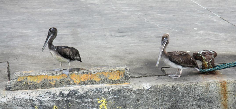 #011 pelikaner, san juan del sur, nicaragua