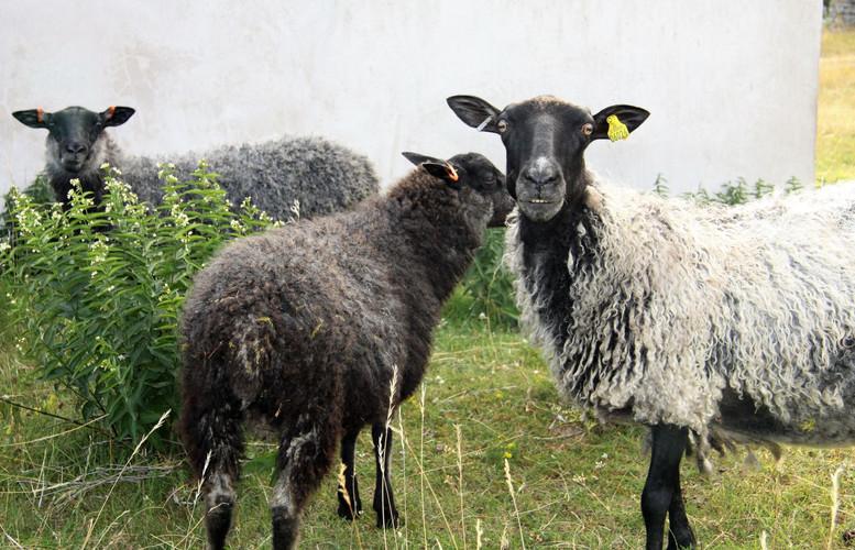 #214 får på fårö