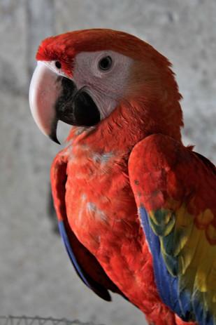 #026 röd papegoja, nicaragua
