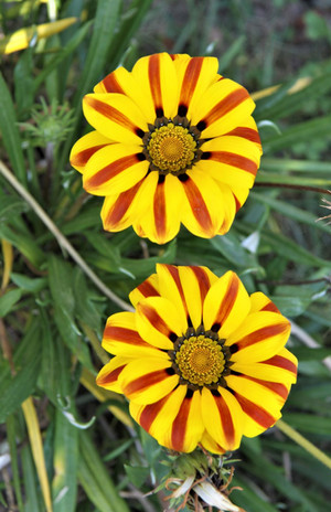 #309 gula blommor, peru