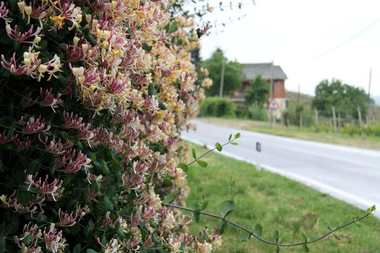 #107 blommande kaprifol, italien