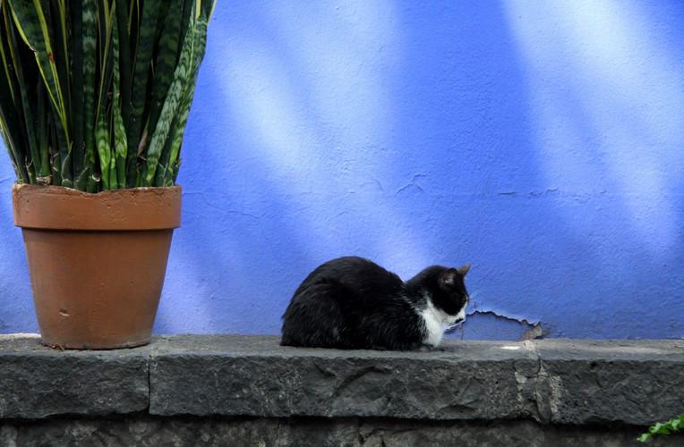 #401 katt mot blått, frida kahlos hus, mexico city