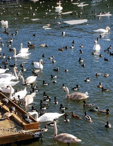#209 marsfåglar i stockholms ström
