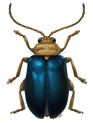 Thracychroma Flea Beetle