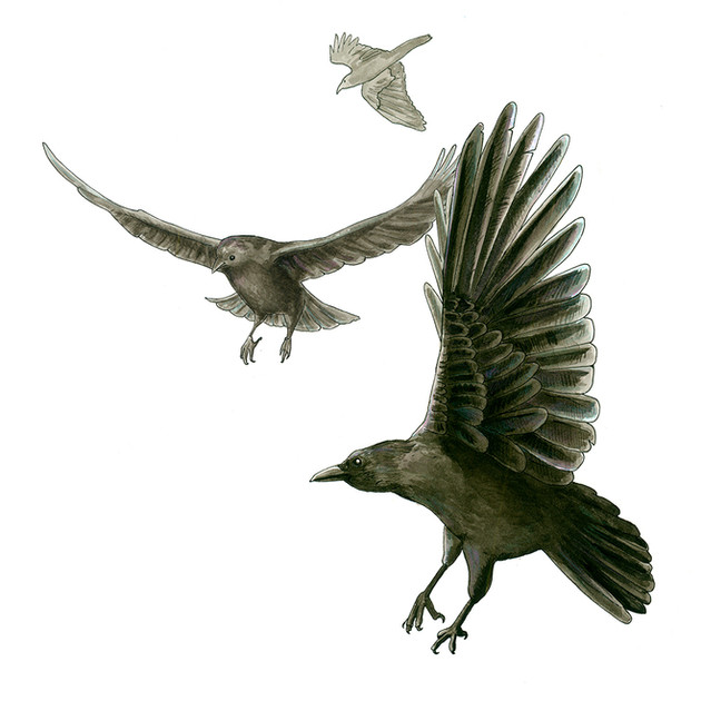Illustration: Crow Mobbing