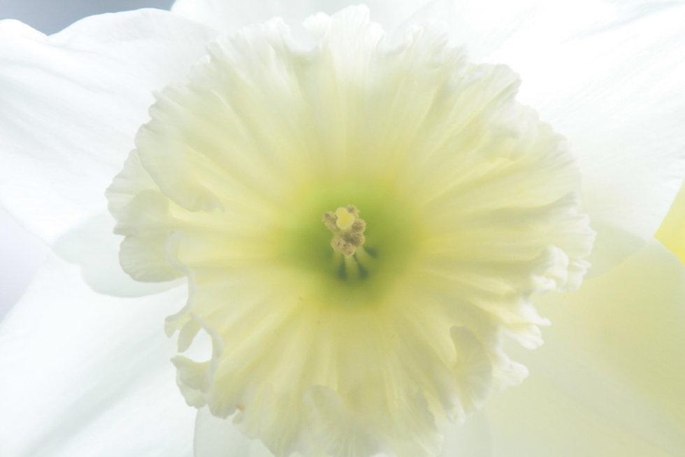 White Daffodil 2