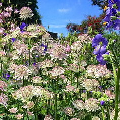 It's all about the Astrantia!!