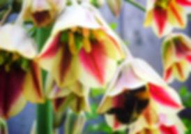 Bee on Sicilian Garlic flower by Viridi Garden Design
