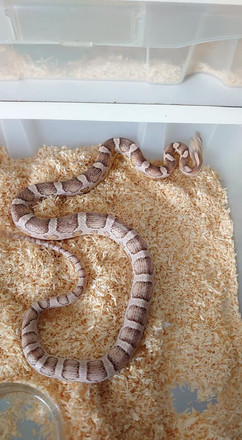Red Coat Ghost Het Scaleless Sunkissed ph Amel Stripe