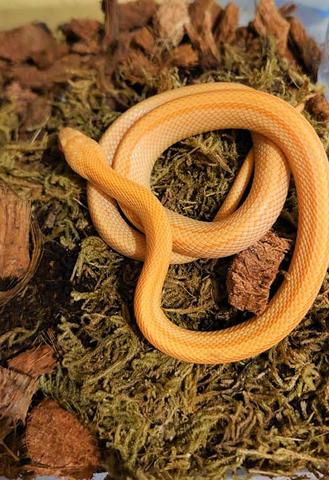 Super Orange Stripe (super Buf)