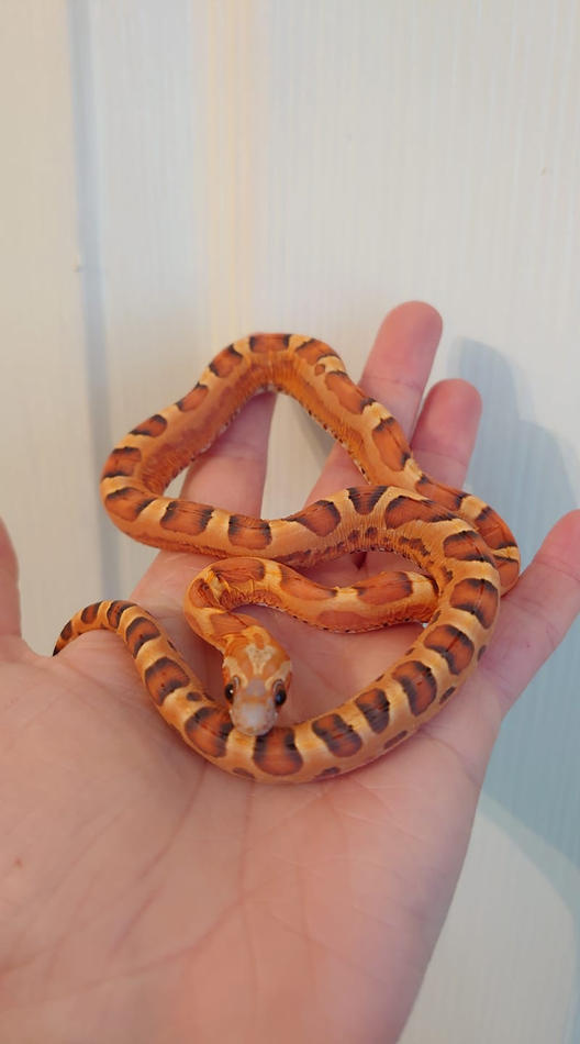 Scaleless Bloodred Het Pied Ph anery Hypo Caramel Stripe Amel