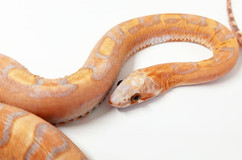 Scaleless low pied sided bloodred