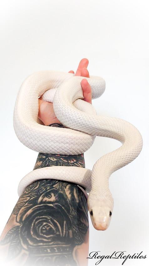 Texas Rat Snakes
