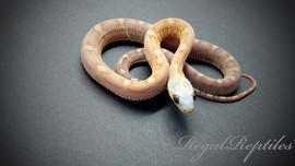 Scaleless Amber Motley