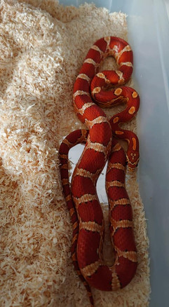 Red Coat Hypo Het Scaleless Sunkissed Anery ph Amel Stripe