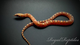 Scaleless Bloodred