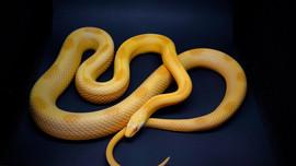 Saffron Stripe