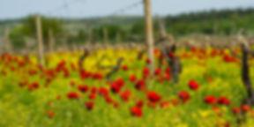 Виноградник в Кахетии