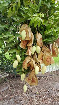 สวนมะม่วงผู้ใหญ่สุทัศน์