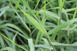 หญ้าขน111