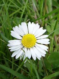 Flowerhead of single daisy