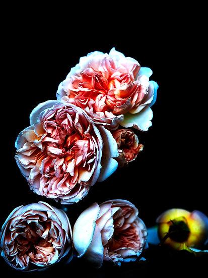 Framed Wild David Austin Rose Print
