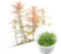 M26 Proserpinaca palustris.jpg