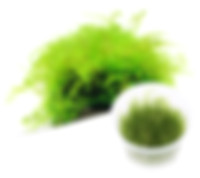 MO02 Taxiphyllum barbieri.jpg
