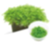 02 Glossostigma elatinoides.jpg